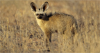 Hunting Africa Bat-Eared Fox