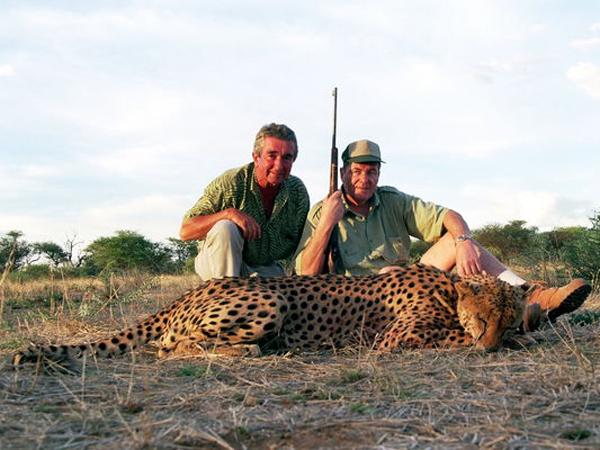 Hunting Cheetah