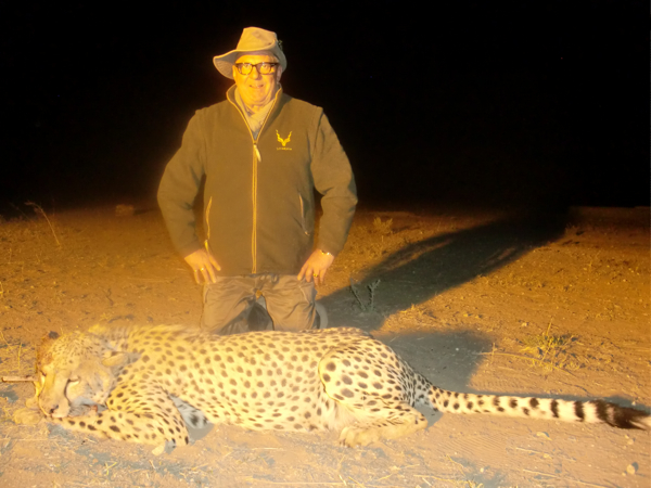 Hunting Cheetah